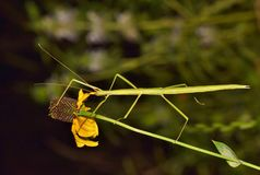 Walking stick insect crawling along a Cone flower. royalty free stock photography