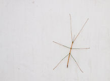 Walking stick insect. Royalty Free Stock Photos