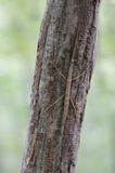 Walking stick insect on tree trunk Stock Photo