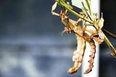 Walking Stick Insects Royalty Free Stock Photos