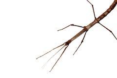 Walking stick (Phasmatodea). Insect isolated on white background royalty free stock photography