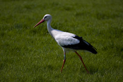 Walking stork Royalty Free Stock Image