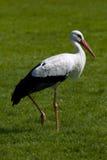 Walking stork Stock Photo