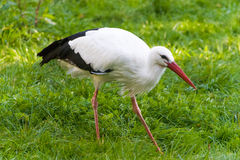Walking stork on green field Stock Images