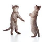 Walking striped british kitten set Stock Photos