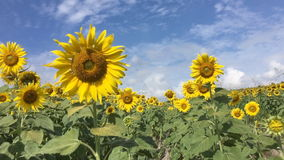 Walking through sunflower field slow motion stock video footage