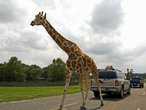 Walking Tall. This is a shot of a very tall giraffe on the road at a animal safari royalty free stock photos