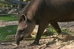 Walking tapir Royalty Free Stock Images