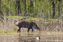 Walking tapirs Stock Image
