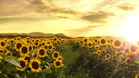 Walking Thru a Sunflower Field. Seamless Loop stock footage