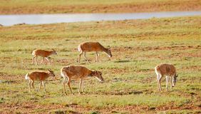 Walking Tibetan Antelopes Stock Photos