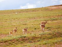 Walking Tibetan Antelopes Stock Images