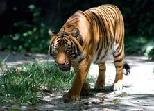 Walking tiger Stock Images