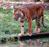 Walking Tiger. Sumatra tiger walking next a pool Stock Photos