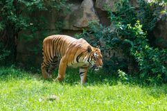 Walking tiger Stock Image