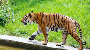 Walking tiger Royalty Free Stock Photo