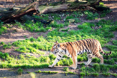 Walking tiger Royalty Free Stock Images
