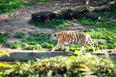 Walking tiger Stock Photography
