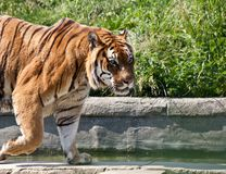 Walking tiger (Panthera Tigris) Stock Photo