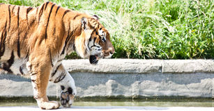 Walking tiger (Panthera Tigris) Stock Images