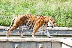 Walking tiger (Panthera Tigris) Royalty Free Stock Images