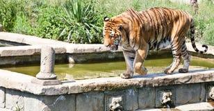 Walking tiger (Panthera Tigris) Stock Photography