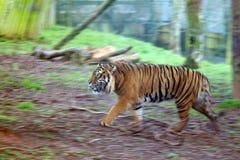 Walking tiger stock image