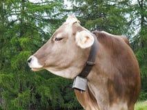Walking to Hafling - Avelengo, grazing cows Royalty Free Stock Photography