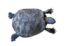 Walking tortoise cutout. Walking tortoise top view isolated on white background Stock Photos