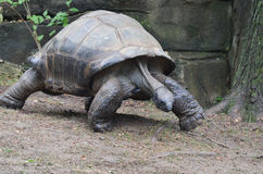 Walking tortoise Stock Image
