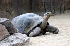 Walking tortoise Stock Photo