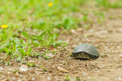 Walking Tortoise Stock Photos
