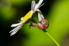 Walking tour. Snail on the wild flower. Macro photography of nature Royalty Free Stock Photos