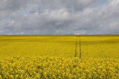 Walking tourism Yorkshire. A rape seed oil plants field in the Yorkshire Wolds near Thixendale, England Stock Photography