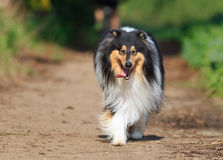 Walking toward black collie dog protrait in nature Stock Photography
