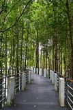 Walking trail of mangrove jungle. At summer day on Langkawi Island, Malaysia royalty free stock image