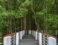 Walking trail of mangrove jungle. At summer day on Langkawi Island, Malaysia stock photography