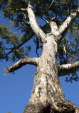 Walking tree. A large gum tree with blue sky in the background Stock Photography