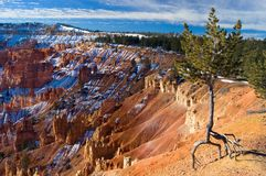 Walking Tree. At Bryce National Park Stock Images