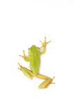 Walking tree frog. Walking green tree frog  on white background Royalty Free Stock Photos