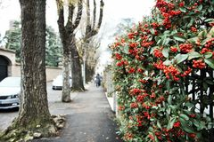 walking in Treviso, a tree-lined avenue with flowered walls royalty free stock images