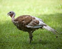 Walking turkey Royalty Free Stock Photography