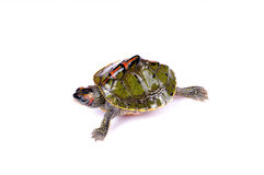 Walking turtle. Fresh water turtle isolated on white background Royalty Free Stock Photography