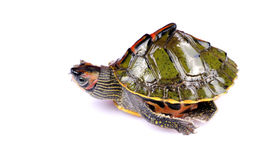 Walking turtle. Fresh water turtle isolated on white background Stock Images