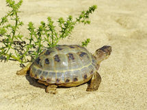 Walking turtle. Royalty Free Stock Images