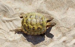 Walking turtle. Stock Image