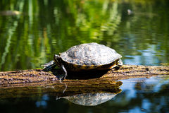 Walking Turtle. Turtle on Tree Trunk in the Water stock photo