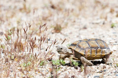 Walking turtle at american desert between grass Stock Photography