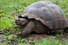 Walking Turtle Royalty Free Stock Photo
