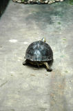 Walking Turtle Royalty Free Stock Photography